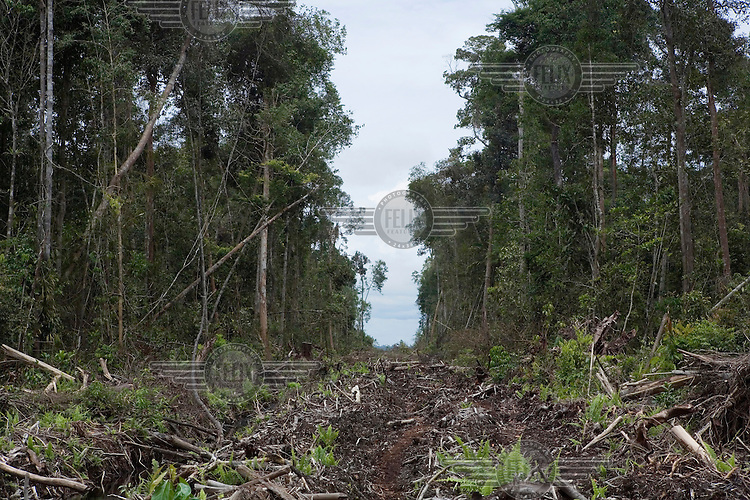 A road runs through an area of forest slated to be destroyed to make space for an expanding palm oil plantation.