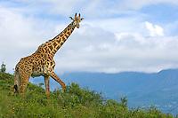 Masai Giraffe, Giraffe camelopardalis tippelskirchi, twiga, Male masai giraffe, Arusha National Park, Tanzania