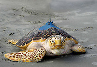 As soon as her net carrier hit the sand, she headed straight toward the Atlantic waters. The turtle was rescued as a distressed hatchlingfrom a nest onPine Knoll Shores in 2003. It has been on exhibit in the Queen Anne's Revenge since the Aquarium opened in May 2006. Itwill be equipped with a satellite tracking device -- harmless to the turtle -- that willenable the tracking of its movements for about a year, Saturday, September 15, 2007. Beckley New_TurtleGone.