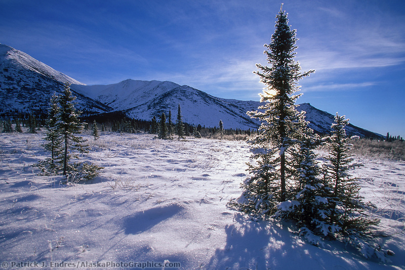 Spruce tree on the snow covered Arctic tundra, Arctic Alaska.