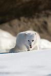 Arctic fox (Alopex lagopus) walking in the snow/ice