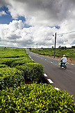 MAURITIUS, a man on his motorcycle drives through the tea fields of Bois Cherie