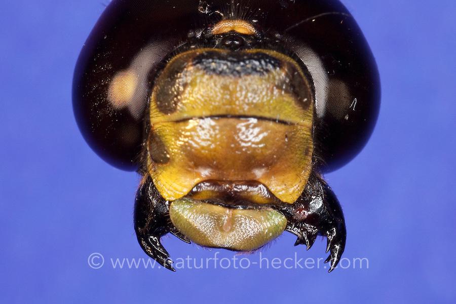 """Libelle, Auge, Komplexauge, Facettenauge und beißend-kauende Mundwerkzeug, Mundwerkzeuge, besonders die Mandibeln sind kräftig entwickelt und bezahnt (daher der wissenschaftliche Name """"Odonata""""). Vorn werden diese von der Oberlippe (Labrum) abgeschlossen. Die Maxillen tragen jeweils einen Taster und die Unterlippe (Labium) ist zweilappig ausgebildet, Blaugrüne Mosaikjungfer, Blaugrüne-Mosaikjungfer, Aeshna cyanea, Aeschna cyanea, blue-green darner, southern aeshna, southern hawker"""
