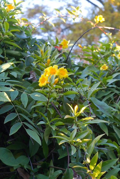 Gelsemium sempervirens vine in flower, Carolina jessamine, Yellow jessamine, Evening trumpetflower, Poor man's rope