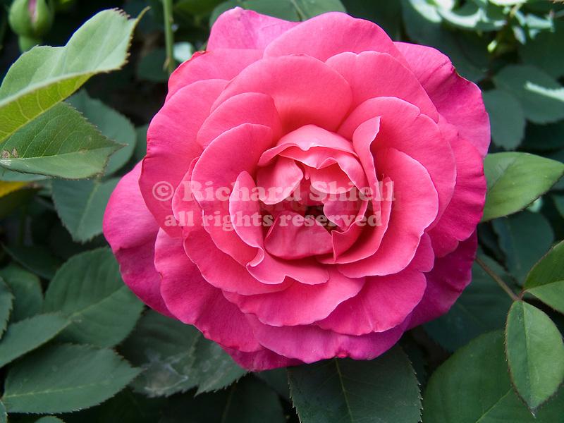 Climbing Pink Peace Rose, Rosa hybrid