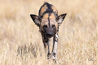 African Wild Dog (Lycaon pictus) - the alpha male - approaches our vehicle to assess the potential threat to the litter of 11 puppies napping behind him. A thrilling experience for us. The male checked us out and, once he confirmed we were harmless, walked right past us to the next patch of shade. He laid down there and soon the other adults and all of the puppies joined him there.