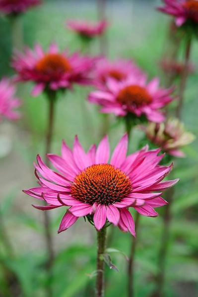 Echinacea 'Rubinglow'