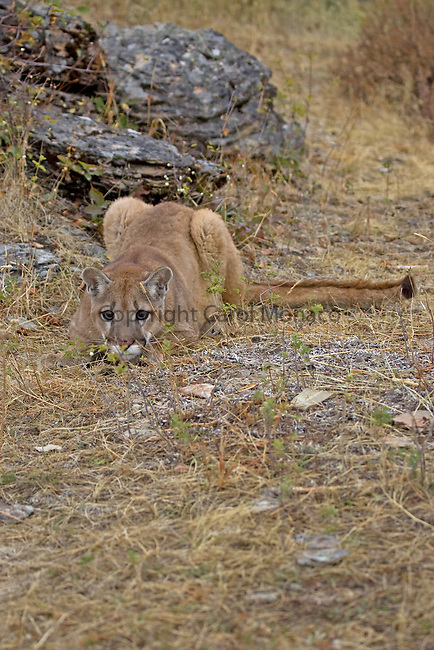A mountain lion about to pounce, United States