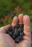 Wild blackberries in a man's hand.