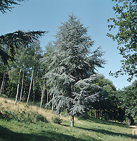 European Silver Fir Abies alba (Pinaceae) HEIGHT to 47m <br /> Fast-growing fir, reaching a great size; until 1960s held record for tallest tree in Britain. BARK White on trunk and branches of mature trees, grey on younger trees. LEAVES Thick needles, up to 3cm long, notched at tip and in 2 rows on twigs, which are covered with pale brown hairs. REPRODUCTIVE PARTS Erect cones green at first, maturing orange-brown and up to 20cm long. Eventually disintegrate into fan-like scales and toothed bracts, leaving just the protruding woody axis. Cones normally grow high up. STATUS AND DISTRIBUTION Native of European mountains. At one time widely planted in Britain for timber. Llarge trees now mainly confined to Scotland and Ireland.