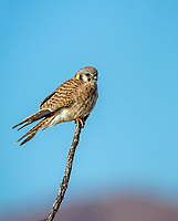Female Amercian Kestrel perched on single branch against blue sky