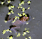 Small Frog encountered in a pond at the OPUS 40 Sculpture Park, in the Town of Saugerties, NY, on Sunday, July 10, 2016. Photo by Jim Peppler. Copyright Jim Peppler 2016.
