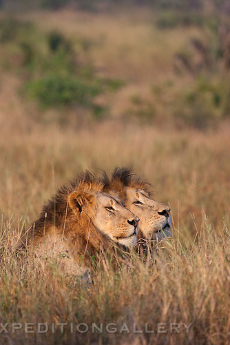 Two male African lions (Panthera leo), South Africa. (This species is found in many African countries including South Africa, Botswana, Zambia, Zimbabwe, Namibia, Tanzania, Kenya, Rwanda, Uganda)