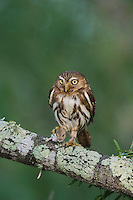 Ferruginous Pygmy-Owl, Glaucidium brasilianum, adult, Willacy County, Rio Grande Valley, Texas, USA, May 2007