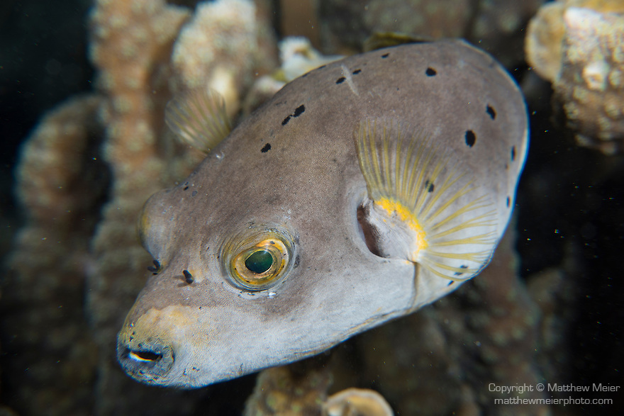 Anda, Bohol, Philippines; a tan colored Blackspotted Puffer fish with yellow pectoral fins and eyes swimming over the coral reef at night