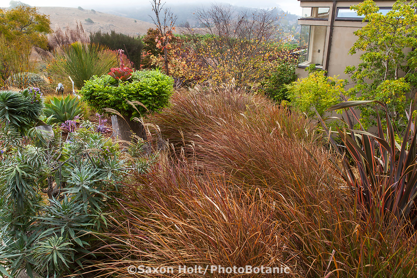 California summer-dry garden with Panicum virgatum, switch grass;