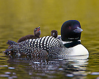Common Loon transporting a pair of chicks on its back
