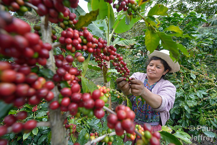 Imelda Balan, a Kakchiquel Maya woman, picks ripe coffee beans in San Martin Jilotepeque, Guatemala. Coffee rust, a terrible plant fungus, has affected coffee farms throughout the region. This farm used heavy spraying of chemicals to control the fungus.