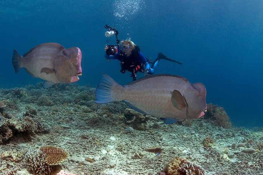 The bumphead parrotfish, Bolbornetopon muricatum, reach over 100 pounds gnawing live coral into powder and feeding on encrusting algae as well.  The diver (MR) and parrotfish were photographed off Sipidan Island, Malaysia.