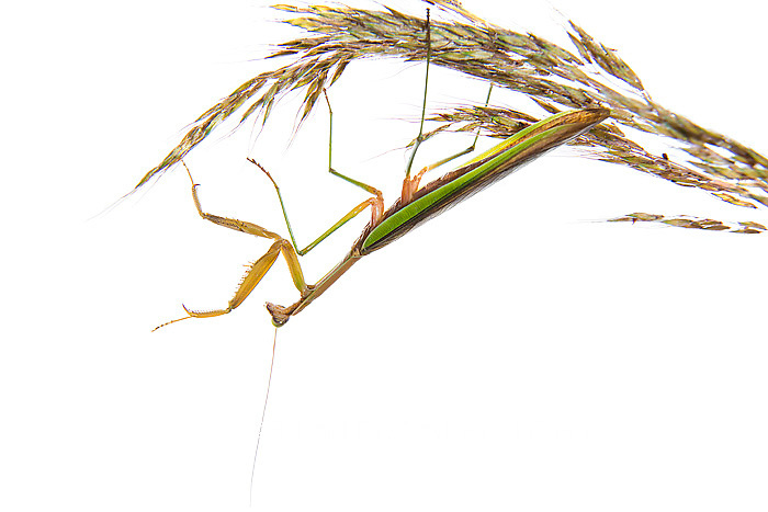 30040-00208 Praying Mantis on white background, Marion Co., IL