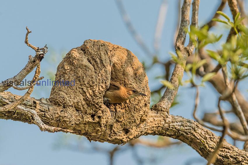 Rufous Hornero (Furnarius rufus) and nest, Pantanal, Mato Grosso, Brazil.