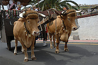 Oxen pulling cart at Romeria/ festival  in San Miguel, Tenerife, Canary Islands