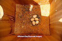 00818-00519 American kestrel (Falco sparverius) eggs in nest box    IL