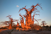 Vibrant Baobabs