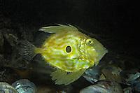 Heringskönig, Petersfisch, Zeus faber, Dory, John Dory