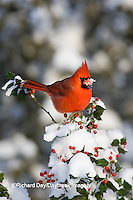 01530-202.04 Northern Cardinal (Cardinalis cardinalis) male in China girl holly (Ilex x. Meserveae 'China Girl')  in winter, Marion Co., IL