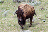 Bison (Bison bison) in the Lamar Valley of Yellowstone National Park