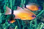 Apogon aureus, Indonesia, Ringtailed cardinalfish, Ambon, Indonesia