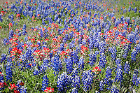 Wildflowers line the roadsides in the Texas Hill Country near Fredericksburg Texas.   Bluebonnets, the official Texas state flower, blanket large portions of the state in early spring. Their peak blooming season is in late March and early April. Bluebonnets depend on abundant winter rains and warm spring weather.