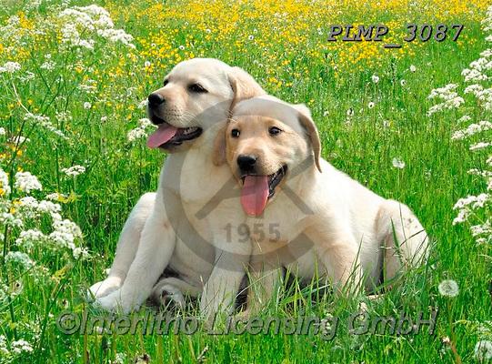 Marek, ANIMALS, REALISTISCHE TIERE, ANIMALES REALISTICOS, dogs, photos+++++,PLMP3087,#a#, EVERYDAY