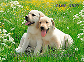 Marek, ANIMALS, REALISTISCHE TIERE, ANIMALES REALISTICOS, dogs, photos+++++,PLMP3087,#a#, EVERYDAY