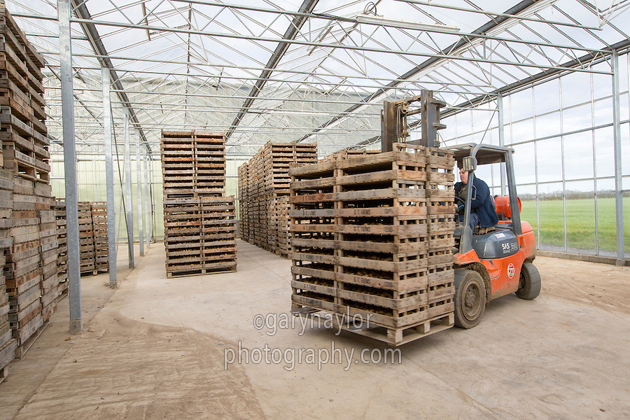 Chitting once grown Challenger potato seed - Lincolnshire, February