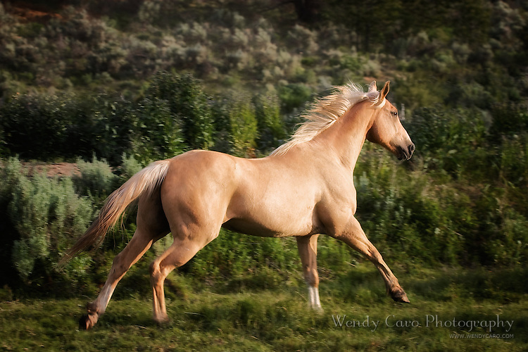 Palomino mare galloping across a pasture on her way to join the herd