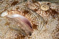 Detail of Eye, Tasselled wobbegong, Eucrossorhinus dasypogon, dive site: Cendana Jetty, Waigeo island, Raja Ampat, West Papua, Indonesia, Indo-Pacific Ocean