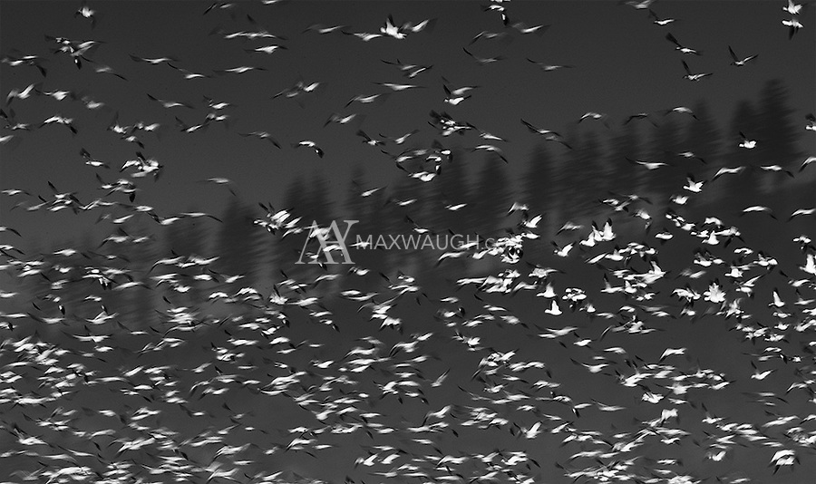 Snow geese migrate by the tens of thousands through western Washington in winter.
