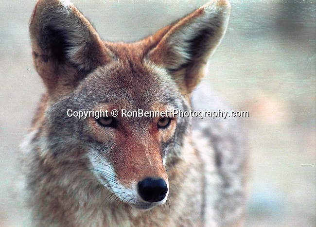 Coyote, Canis latrans, prairie wolf, North America, barking dog, coyote, Animal, wild animals, domestic animals,  Fine Art Photography, Ronald T. Bennett (c) Fine Art Photography by Ron Bennett, Fine Art, Fine Art photography, Art Photography, Copyright RonBennettPhotography.com ©