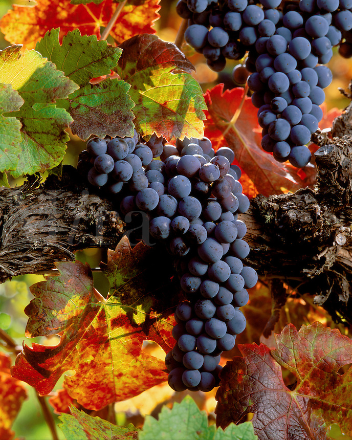 CABERNET WINE GRAPE CLUSTERS on the VINE with AUTUMN LEAVES in CARMEL VALLEY VINEYARD - MONTEREY COUNTY, CALIFORNIA
