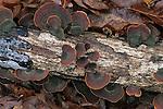 Shelf fungus (Stereum sp.), Eno River State Park, North Carolina