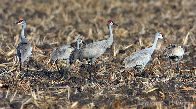 Sandhill cranes feeding in stubble of grain field
