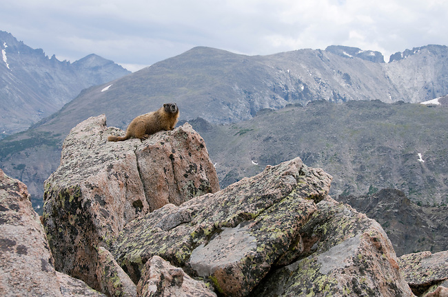 marmot, Marmota flaviventris, rocky alpine tundra on Flattop Mountain, Rocky Mountain National Park, Colorado, USA