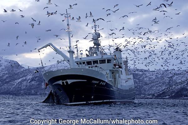 Deep sea fishing trawler Torbas hauling in net full of Herring Clupea harengus gulls feeding on scraps Tysfjord, Arctic Norway, North East Atlantic