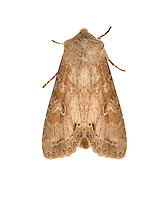 73.259 (2148)<br /> Pale Shining Brown - Polia bombycina