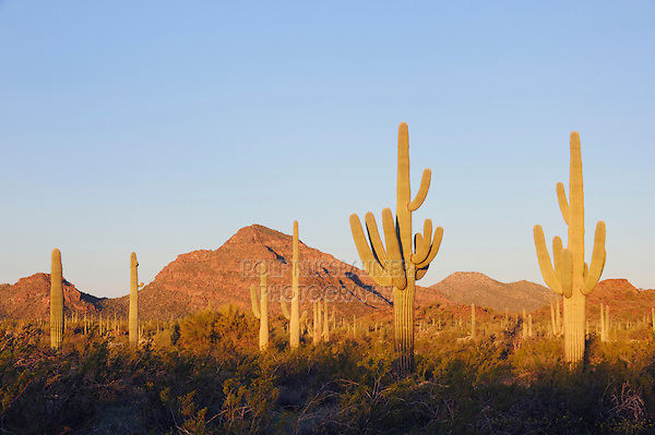 Sunrise in Sonoran desert with Saguaro Cactus (Carnegiea gigantea), Organ Pipe Cactus National Monument, Arizona, USA