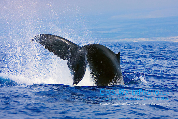 Humpback Whale throwing peduncle in the air, Megaptera novaeangliae, Hawaii, Pacific Ocean.