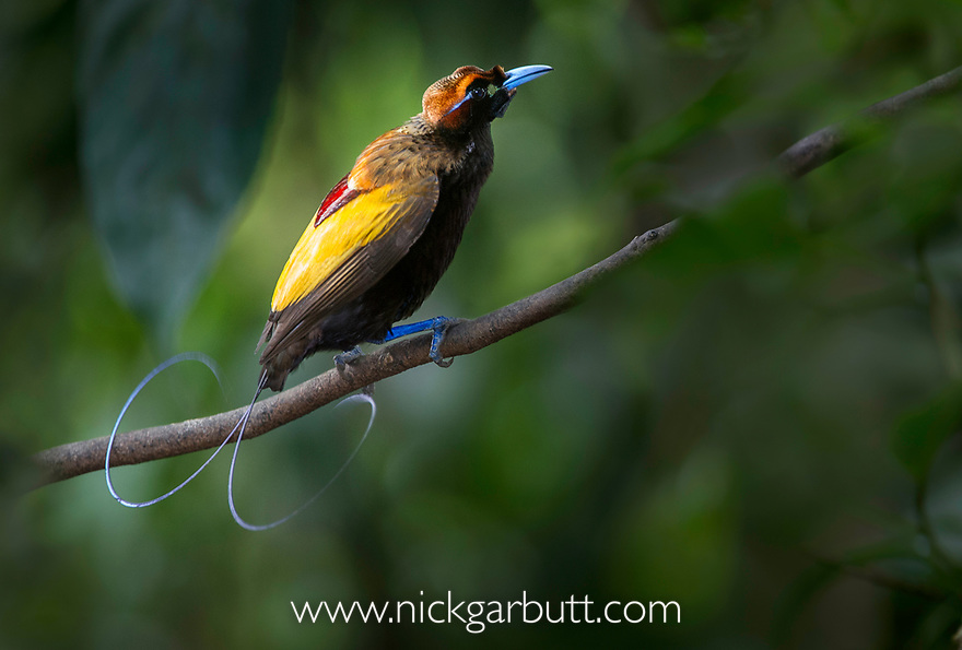 Magnificent Bird of Paradise (Diphyllodes magnificus) male, Lower montane highlands near Mount Hagen, Enga Province, Papua New Guinea. Endemic.