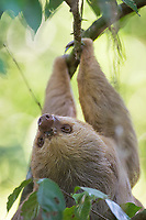 The furrier of Costa Rica's two sloth species.